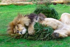 """Here's Zuri the lion enjoying a Christmas tree at Linton Zoo.   These Lions Have Been Given Old Christmas Trees To Play With Because They're """"Like Catnip"""""""