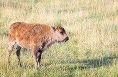 10 Tourists Who Ruined History for Everyone:      THE RESCUE RANGERS:    While visiting Yellowstone, this family saw a bison calf wandering alone in the park—so they picked it up and put it in the back of their  SUV.  Why on earth? The couple thought the calf might be cold so they were taking it to a park ranger in their heated car. And that's when this  schmuck saga gets sad: because the bison calf's herd would not accept him back, park rangers had no choice but to euthanize it. More...