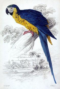 "Blue-and-yellow Macaw (Ara ararauna, synonym: macrocercus ararauna) - Edward Lear, from ""Natural history of parrots"", by Prideaux John Selby, Edinburgh, 1836"
