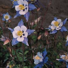 Blue Star - Aquilegia x caerulea - This outstanding variety features absolutely beautiful 4 inch blue flowers with white corollas and long spurs on early blooming, free flowering, well branched, relatively heat tolerant plants. Prefers filtered shade and moist soil but will tolerate sun in cool summer areas. Blooms in spring and will attract hummingbirds. Grows to 2.5 feet tall. Perennial. Winter hardy to zone 3.