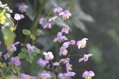 Garden planting at RHS Harlow Carr, Harrogate North Yorkshire, beautiful border planting, delicate purple thalictrum.