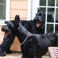 Giant Schnauzer For Sale, Miniature Schnauzer Black, Miniature Dog Breeds, Black Schnauzer, Schnauzer Puppy, Schnauzers, Goldendoodle, Giant Dogs, Big Dogs