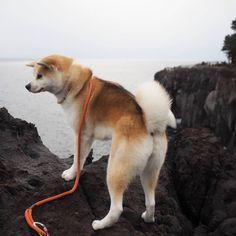 Japanese Akita, Japanese Dogs, Kai Ken, Japanese Dog Breeds, Sweet Dogs, Akita Dog, Shiba Inu, Doge, Mans Best Friend