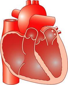 De hartspier bestaat uit twee boezems en twee kamers. Een wand deelt het hart in twee helften.