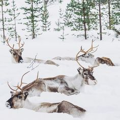 """""""Life as a reindeer in Inari is, as you can see, a tough one. Deer Pictures, Lappland, Scandinavian Countries, Marimekko, Mongolia, Nature Animals, Winter Scenes, Wonderful Things, Cousins"""
