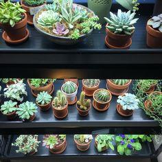 My plants are so happy under their new grow lights! Types Of Succulents, Growing Succulents, Cacti And Succulents, Growing Plants, Planting Flowers, Cactus, Zebra Plant, Jade Plants, Succulent Arrangements