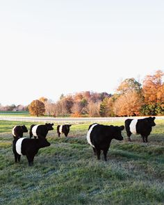 Pittsboro, NC - a rare breed of Scottish cattle called Belted Galloways :)