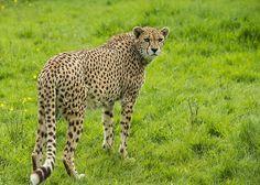 (via 500px / Cheetah by Colin Langford)
