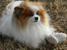 brown and white pomeranian dog