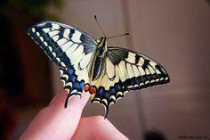 Papilio Machaon by Michela Botta, via 500px