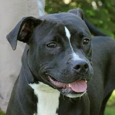 TOP PRIORITY!!! - Sidney (A037179) is an adoptable Pit Bull Terrier Dog in Springfield, IL.  ...