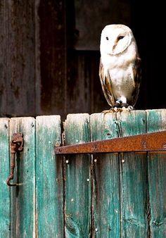 barn owl on barn door--Why, yes, I was born in a barn.