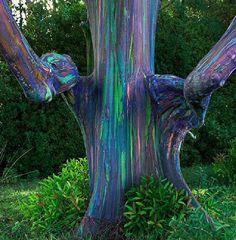 Rainbow Eucalyptus tree in Hana, Hawaii - they really look like that, it's crazy.
