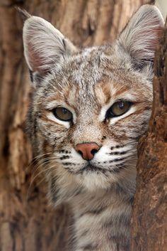 Curious Cat by Megan Lorenz ~ Bobcat at Jungle Cat World, Orono, Ontario, Canada*