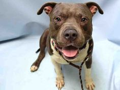 MAX MCNEIL - A1048623 - - Brooklyn TO BE DESTROYED 08/26/15 Hello, handsome! Check out Max McNeil, a strapping young lad brought to the ACC in the wake of landlord issues. Max McNeil has been started out nicely and it shows in his great personality, but it's likely that food allergies have caused him a fair amount of grief. This happy fellow needs a trip to the vet, a trip to the dog food store, and a loving foster/adopter to make that magic happen. Please share hi