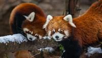 The red panda cubs at Lincoln Park Zoo got to play in the snow for the first time Wednesday.