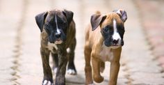 """Exceptional """"boxer puppies""""xx info is available on our site. Boxer And Baby, Boxer Love, Boxer Puppies, Dogs And Puppies, Doggies, Purebred Dogs, Rottweilers, Animal Games, Losing A Dog"""
