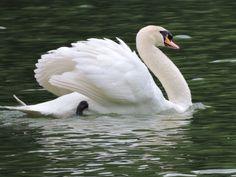 Muted Swan @ Singapore Botanic Garden