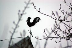 Portfolio Multimedeia: Lintubongausta: Kukko kekkuloi yllä talon katon