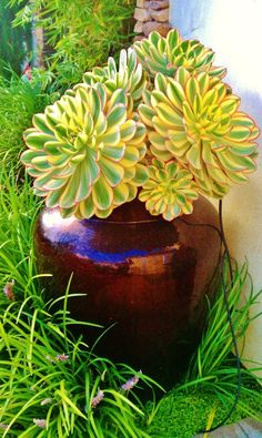 Love succulents as indoor plants. Echeveria or paddle plant Succulents In Containers, Container Plants, Cacti And Succulents, Planting Succulents, Container Gardening, Planting Flowers, Echeveria, Sempervivum, Beautiful Gardens