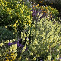 Verbascum (Cotswold Group) 'Gainsborough' - Elegant panicles bearing sulphur-yellow, saucer-shaped flowers, rise above the rosette of puckered, grey-green leaves in summer. A reliable perennial, which may produce a second flush of flowers if dead-headed promptly.