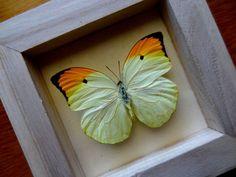 Véritable Anteos Menippe encadré  taxidermie  par ButterflyPalace