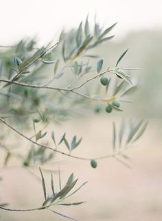 Olive grove in the South of France | Image via Jose Villa Photography
