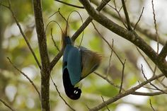 Paradisaeidae, fotos - Buscar con Google