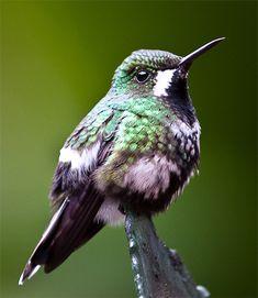Green Thorntail Hummingbird () female Costa Rica