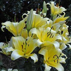 Lilium 'Serano' ist eine gelbe Lilie mit sonnigem Charakter, die jedes Jahr noch schöner wird. Pflanzzeit für die Blumenzwiebeln ist im Winter - online erhältlich bei www.fluwel.de