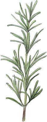 Illustration of rosemary for minute steak recipe