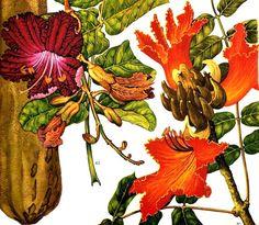 African Tulip Tree Sausage Tree Flowers by SurrenderDorothy, $11.89