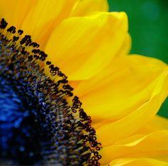 Yellow Petals by cheryl rendino, via 500px