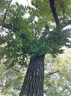 A mature American chestnut tree in Iowa.