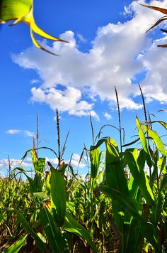 Corn...knee high by the 4th of July.  Does anyone from any other state say that?  I don't know, but when the corn got knee high I'd feel so sad because it meant that summer was half over.....
