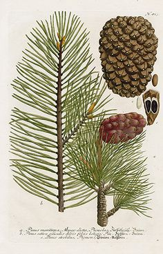 Pine, Pinus maritima from Johann Weinmann Antique Prints Protea and Cactus 1745 Vintage Botanical Prints, Botanical Drawings, Antique Prints, Botanical Art, Botany Illustration, Decoupage Art, Fauna, Illustrations, Vintage Flowers