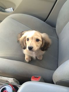 English cream long haired dachshund ==> visit http://www.amazingdogtales.com/gifts-for-dachsund-lovers/