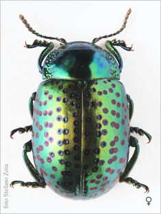 Chrysolina cerealis - Google Search Beetle Insect, Beetle Bug, Insect Art, Green Beetle, Cool Insects, Bugs And Insects, Beautiful Creatures, Animals Beautiful, Cute Animals