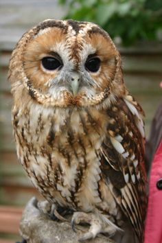 cute, but looking a bit too serious! Owl Photos, Owl Pictures, Beautiful Owl, Animals Beautiful, Strix Aluco, Animals And Pets, Cute Animals, Tawny Owl, Owl Bird