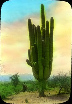 This giant saguaro cactus is over 70 ft. tall and they can live for over 150 yrs.