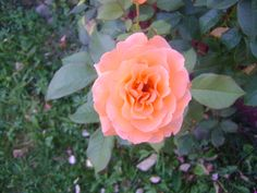 a rose Rose, Nature, Flowers, Plants, Pink, Roses, Flora, Plant, Royal Icing Flowers