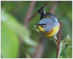 Paruline à collier - Setophaga americana