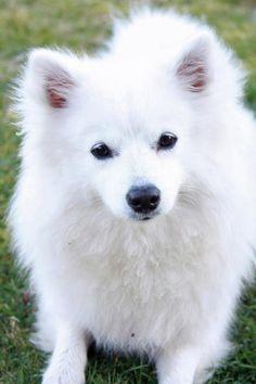 Nova the American Eskimo--I'm so fluffy!