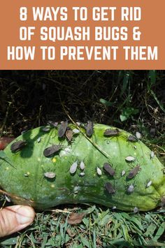 8 Ways To Get Rid Of Squash Bugs & How To Prevent Them Squash bugs are persistent and can bring devastation to crops. Although squash bugs get their name from their most desirous crop, squash, they can also rip apart a pumpkin crop in a short amount of Garden Insects, Garden Bugs, Garden Pests, Lawn And Garden, Plant Pests, Home And Garden, Squash Bugs, Squash Plant, Planting Vegetables