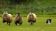 Bamford Sheepdog Trials - Peak District