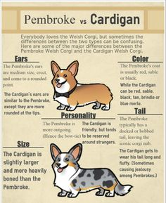 The Pembroke Welsh Corgi - What You Should Know About This Sweet ...
