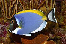 Powder Blue Tang Fish Acanthurus Leucosternon Photo By H Zell Via Wikipedia At Staatliches Museum Fur Naturkunde Karls Blue Tang Fish Fish Tropical Fish