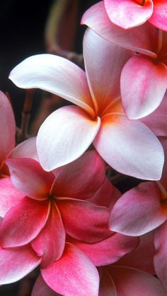 plumeria, shrubs, flowering, pink, beauty