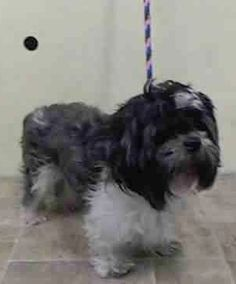 Manhattan Center CONNOR - A1024545 MALE, GRAY / WHITE, SHIH TZU MIX, 6 yrs STRAY - STRAY WAIT, NO HOLD Reason STRAY Intake condition UNSPECIFIE Intake Date 01/02/2015, From NY 10460, DueOut Date 01/05/2015, https://www.facebook.com/Urgentdeathrowdogs/photos/pb.152876678058553.-2207520000.1420402090./935180599828153/?type=3&theater