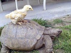 Does it get anymore cute than this?!A baby chick riding on a tortoise's back. <3